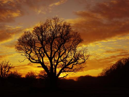 Winter sunset behind the oak tree