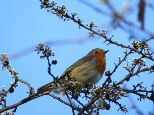 Robin on the top of a tree