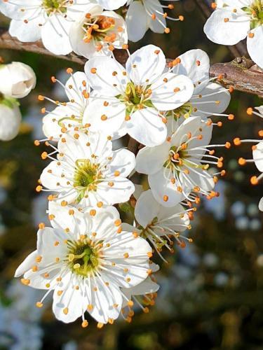 Hawthron blossoms